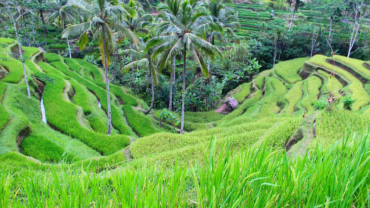Tegallalang-ricefields